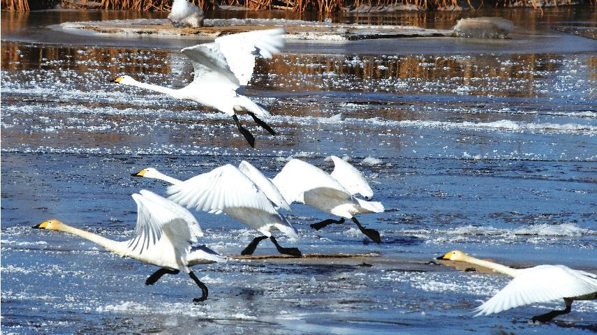 大天鹅起舞奈伦湖